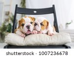 Stock photo two pretty puppies of a bulldog lying on a soft chair closeup portrait 1007236678
