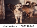 cute dog caught by hingheri who ... | Shutterstock . vector #1007248168
