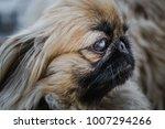 closeup shot of pekingese or... | Shutterstock . vector #1007294266