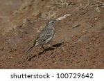 bird of madeira.anthus... | Shutterstock . vector #100729642
