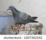 pigeon   dove standing on a... | Shutterstock . vector #1007302342