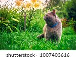 Male Purebred Cat Wearing A...