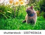 male purebred cat wearing a... | Shutterstock . vector #1007403616
