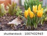 yellow blooming crocuses with...   Shutterstock . vector #1007432965
