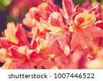 orange rhododendron flowers... | Shutterstock . vector #1007446522