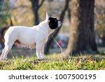 the cute french bulldog in...   Shutterstock . vector #1007500195