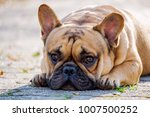 the cute french bulldog in... | Shutterstock . vector #1007500252