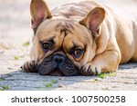 the cute french bulldog in... | Shutterstock . vector #1007500258