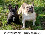 the cute french bulldog in... | Shutterstock . vector #1007500396