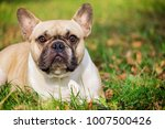 the cute french bulldog in... | Shutterstock . vector #1007500426