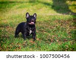 the cute french bulldog in... | Shutterstock . vector #1007500456