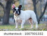 the cute french bulldog in... | Shutterstock . vector #1007501332