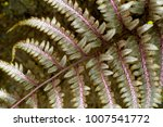 Small photo of Oriental Ladyfern also called Japanese Painted Fern 'Ursula's Red' (Athyrium niponicum) is a species of fern family