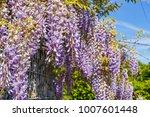 wisteria blossom on gabion... | Shutterstock . vector #1007601448