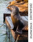 Small photo of Sea lion sun bathing on a floating dock