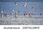 eurasian wigeon  wigeon  anas...   Shutterstock . vector #1007613895
