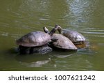 Small photo of Three Charapa Turtles (Podocnemis Unifilis) sun themselves on a stone in the botanical garden of Medellín where they live. This species of turtles are common in the lakes and swamps of Colombia.