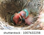 Small photo of American Robin Hatching from Egg in Nest, Joining Previously Hatched Chick