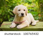 Stock photo labrador retriever puppy in the yard shallow dof 100765432