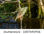 a green heron perched on a limb ... | Shutterstock . vector #1007692936
