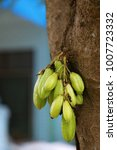 Small photo of acidulous green fruits on a tree