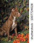 brown american pit bull terrier | Shutterstock . vector #1007724028
