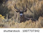 The Watchful Buck