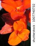 orange canna lily flower close... | Shutterstock . vector #1007740732