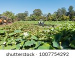 beautiful lotus and waterlily... | Shutterstock . vector #1007754292