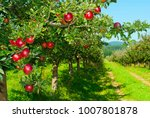 Apples Hanging On Branch At...