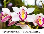 shot of spathoglottis flowers... | Shutterstock . vector #1007803852