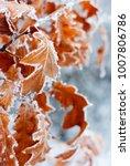 oak leaves in rime   Shutterstock . vector #1007806786