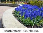 Spring Flowers.  Grape Hyacint...