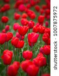 field with red tulips in the... | Shutterstock . vector #1007875972