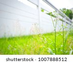 vernonia cinerea  purple grass... | Shutterstock . vector #1007888512