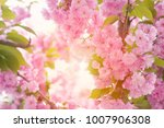 cherry pink blossoms close up ... | Shutterstock . vector #1007906308