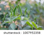 chilli peppersthis world  there ... | Shutterstock . vector #1007952358