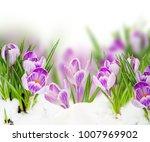 Spring Blue Crocuses Flowers...