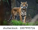 Sumatra Tiger Standing Grass Looking - Fine Art prints
