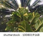 beautiful green leaves growing... | Shutterstock . vector #1008019168