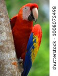 The Scarlet Macaw Is A Large ...
