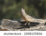 Small photo of Pyrrhuloxia (female) (cardinal)