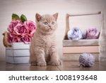 Stock photo lop eared kitten plays scotland cat kitten little playful kitten with ball of threads bouquet 1008193648