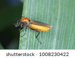 Small photo of Bibio hortulanus is a fly from the family Bibionidae. Pests of plants