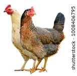 two chickens isolated on a...