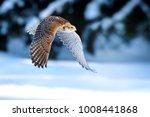 falcon fly. beautiful bird is... | Shutterstock . vector #1008441868