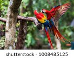 Two Scarlet Macaw Playing On...