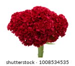 red cockscomb flower isolated... | Shutterstock . vector #1008534535