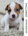 puppy dog jack russell terrier... | Shutterstock . vector #1008672562