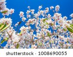 branch with beautiful white... | Shutterstock . vector #1008690055